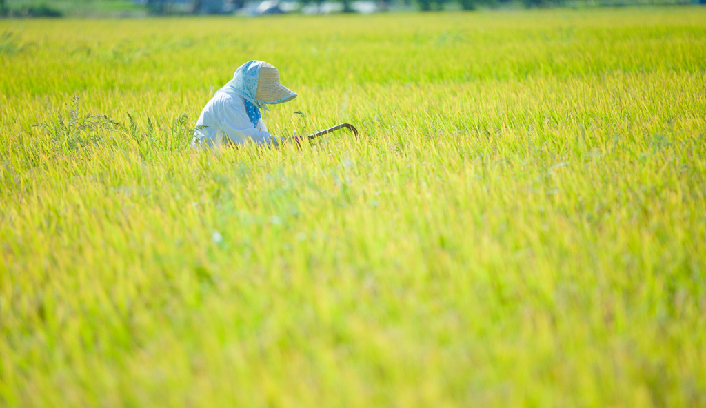 rice_reaping